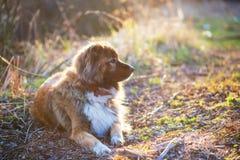 Caucasian shepherd dog outdoor exterior portrait Stock Image