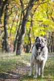Caucasian Shepherd Dog. Portrait of the Caucasian Shepherd Dog stock image