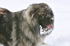Caucasian Shepherd Dog portrait. Big Caucasian Shepherd Dog portrait royalty free stock image