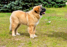 Caucasian Shepherd Dog puppy looks. The Caucasian Shepherd Dog puppy stands in the park stock images
