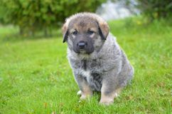 Caucasian Shepherd Dog puppy sitting on the grass Stock Image