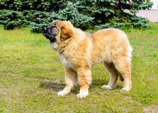 Caucasian Shepherd Dog puppy stands. The Caucasian Shepherd Dog puppy stands in the park stock image