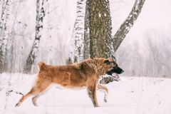 Caucasian Shepherd Dog Running Outdoor In Snowy Field At Winter Stock Photography