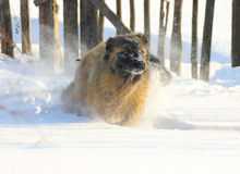 Caucasian Shepherd dog running in snow. At winter stock photos
