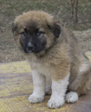 Caucasian Shepherd Dog. The Caucasian Shepherd`s original purpose was to protect livestock stock photography