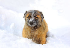 Caucasian Shepherd dog in snow. At winter royalty free stock image