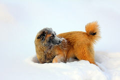 Caucasian Shepherd dog in snow. At winter stock photography