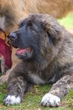 Caucasian Shepherd Dog. Space under the text. 2018 year of the dog in the eastern calendar Concept: parodist dogs, dog friend of man, true friends, rescuers royalty free stock photo