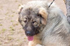 Caucasian Shepherd Dog. Space under the text. 2018 year of the dog in the eastern calendar Concept: parodist dogs, dog friend of man, true friends, rescuers royalty free stock images