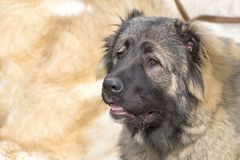 Caucasian Shepherd Dog. Space under the text. 2018 year of the dog in the eastern calendar Concept: parodist dogs, dog friend of man, true friends, rescuers royalty free stock image
