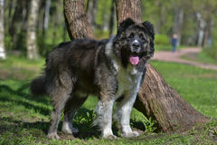 Caucasian Shepherd Dog. In summer stock photo