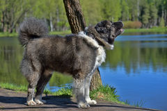 Caucasian Shepherd Dog. In summer stock photos