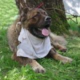 Caucasian Shepherd Dog. Tied Caucasian Shepherd Dog lying in the green grass royalty free stock photo