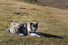 Caucasian Shepherd Dog in Tusheti Nature Reserve. Georgia. Caucasian Shepherd Dog lie on meadow. Tusheti Nature Reserve. Georgia royalty free stock photos