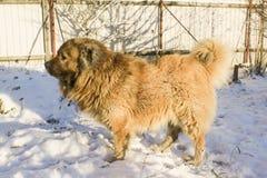Caucasian shepherd dog. Caucasian Shepherd in a winter sunny day royalty free stock images
