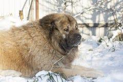 Caucasian shepherd dog. Caucasian Shepherd in a winter sunny day royalty free stock photos