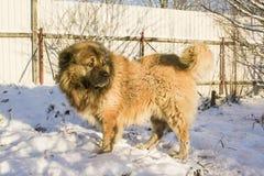 Caucasian shepherd dog. Caucasian Shepherd in a winter sunny day stock photos