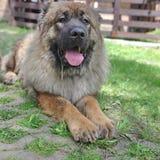Caucasian Shepherd Dog. Young Caucasian Shepherd Dog lying in the green grass stock photos