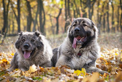 Caucasian Shepherd Dogs. Close-up portrait of the Caucasian Shepherd Dogs stock photo