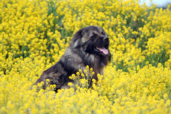 Caucasian shepherd in flowers. Dog caucasian shepherd breed sitting in field with yellow flowers Stock Image