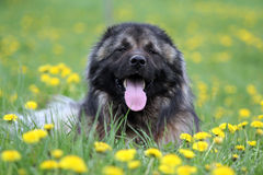 Caucasian shepherd in flowers. Dog caucasian shepherd breed sitting in field with yellow flowers Royalty Free Stock Image