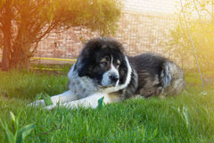 Caucasian Shepherd on the green grass. In a yard. large adult dog on the green grass in a yard Stock Photography