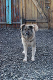 Caucasian shepherd guarding the yard of a private house sitting on a chain. Caucasian shepherd (dog) guarding the yard of a private house sitting on a chain Royalty Free Stock Photo