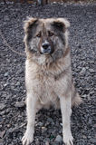 Caucasian shepherd guarding the yard of a private house sitting on a chain Stock Image