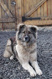 Caucasian shepherd guarding the yard of a private house sitting on a chain. Caucasian shepherd (dog) guarding the yard of a private house sitting on a chain Royalty Free Stock Photos