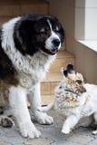 Caucasian Shepherd  large guard dog Stock Photo
