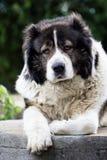Caucasian Shepherd  large guard dog Royalty Free Stock Image