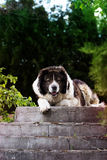 Caucasian Shepherd  large guard dog Royalty Free Stock Images