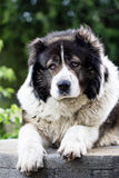 Caucasian Shepherd  large guard dog Stock Photography