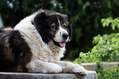 Caucasian Shepherd  large guard dog Royalty Free Stock Photography