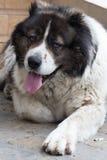 Caucasian Shepherd a large guard dog. Stock Photo