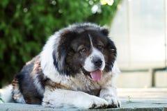Caucasian Shepherd a large guard dog. Royalty Free Stock Photography