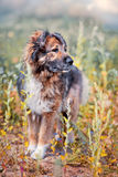 Caucasian shepherd portrait Royalty Free Stock Photography