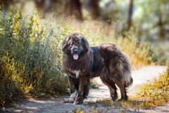 Caucasian shepherd portrait Stock Photos