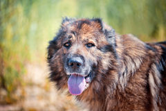 Caucasian shepherd portrait Stock Photo