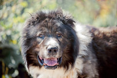 Caucasian shepherd portrait Royalty Free Stock Photos