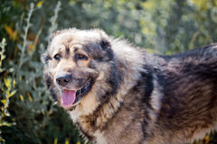 Caucasian shepherd portrait Royalty Free Stock Images