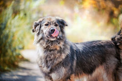 Caucasian shepherd portrait Royalty Free Stock Image