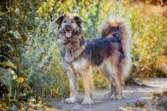 Caucasian shepherd portrait Stock Image