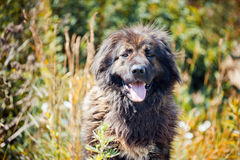 Caucasian shepherd portrait Royalty Free Stock Photo