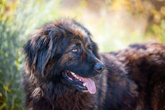 Caucasian shepherd portrait Stock Images