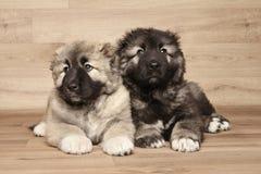 Caucasian shepherd puppies Stock Images