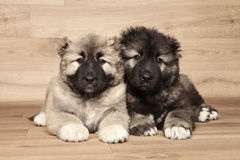 Caucasian shepherd puppies. Two Caucasian Shepherd puppies lying down on wooden background stock photo