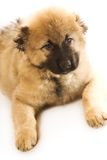 Caucasian shepherd puppy Stock Photos