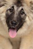Caucasian Shepherd puppy Stock Images