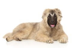 Caucasian Shepherd puppy lying down. On a white background royalty free stock image